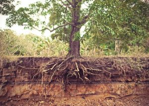 Root system exposed tree